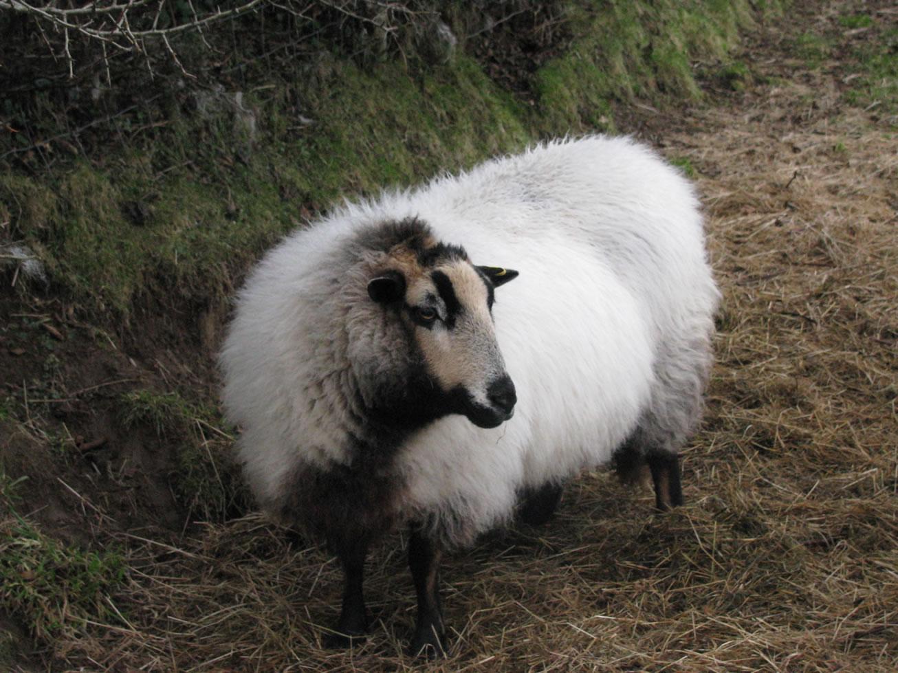 Domestic animals/a good healthy sheep